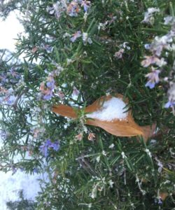 Blooming Rosemary in the Snow